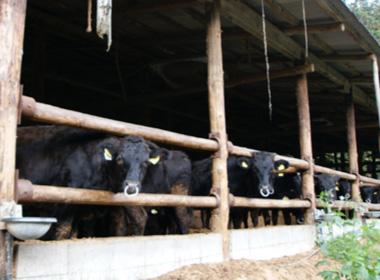 写真:黒毛和種の和牛・松阪牛